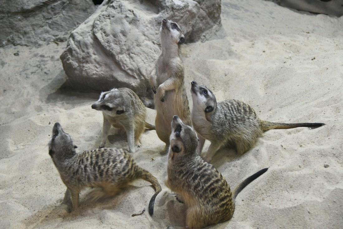 В семье тульских сурикатов пополнение: ФОТО